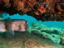 De Vissen van de kogelvis onder Koraal Royalty-vrije Stock Foto