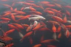 De vissen van de Koikarper in het meer Royalty-vrije Stock Foto