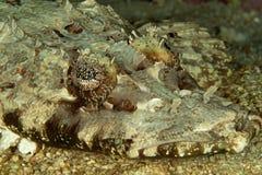 De vissen van de krokodil Royalty-vrije Stock Afbeeldingen