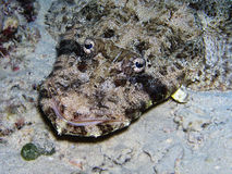 De vissen van de krokodil op overzeese bodem Stock Afbeelding