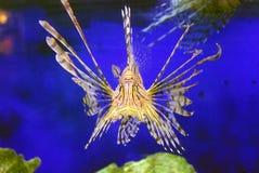 Leeuwvissen  Stock Fotografie