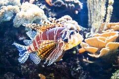 De Vissen van de leeuw Stock Fotografie