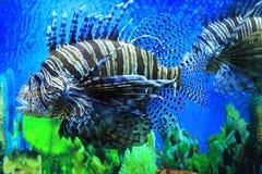 De Vissen van de leeuw Stock Foto