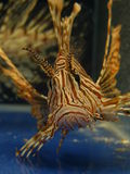 De vissen van de leeuw in huisdier-winkel aquarium Stock Foto's