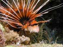 De Vissen van de Leeuw van de duivel tijdens nacht duiken stock afbeeldingen