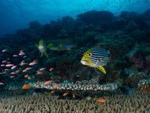 De Vissen van de lip Stock Foto