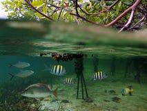 De vissen van de mangrove stock afbeeldingen