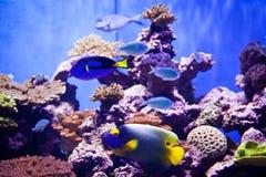 De vissen van de Orangeblotchchirurg in een reusachtige tank Stock Foto