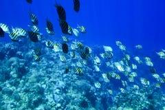 De vissen van de papegaai Stock Foto