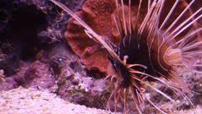 De Vissen van de schorpioen stock videobeelden