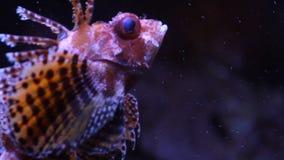 De Vissen van de schorpioen stock video
