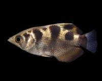 De Vissen van de schutter Royalty-vrije Stock Afbeelding