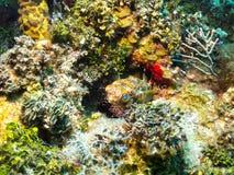 De vissen van de stekelvarkenkogelvis Stock Afbeeldingen