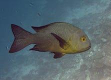 De vissen van de tandbaars Royalty-vrije Stock Foto