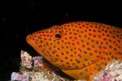 De vissen van de tandbaars, de Maldiven, Atol Ari Stock Afbeeldingen
