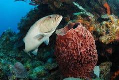 De vissen van de tandbaars en vatspons Royalty-vrije Stock Foto's