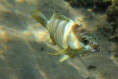 De vissen van de tandbaars onder water Royalty-vrije Stock Afbeeldingen