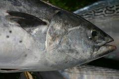 De vissen van de tonijn Stock Foto's