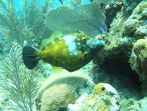 De vissen van de trekker Royalty-vrije Stock Foto's