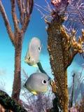 De vissen van de vlinder Stock Foto's