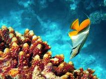 De vissen van de vlinder Royalty-vrije Stock Foto's