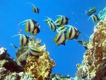 De vissen van de vlinder Stock Fotografie