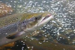 De vissen van de zalm in het water, close-up Royalty-vrije Stock Foto's