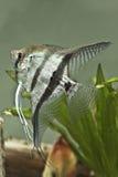 De vissen van de zoet waterEngel - Pterophyllum scalare Stock Afbeeldingen