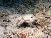 De vissen van Diodon Stock Foto