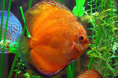 De vissen van Diskus Stock Afbeelding