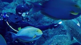 De Vissen van duikerin aquarium feeding stock videobeelden