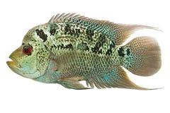 De vissen van Flowerhorn cichlid Stock Foto