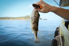 De vissen van Fugu Stock Foto's