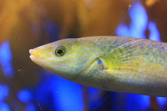 De vissen van Gobi Royalty-vrije Stock Afbeelding