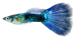 De vissen van Guppy (reticulata Poecilia) Royalty-vrije Stock Foto's