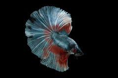 De vissen van halvemaanbetta stock afbeeldingen