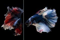 De vissen van halvemaanbetta royalty-vrije stock fotografie