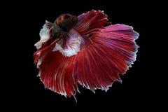 De vissen van halvemaanbetta stock fotografie