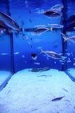 De vissen van het aquarium Stock Afbeelding