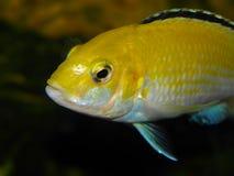 De vissen van het aquarium Stock Afbeeldingen