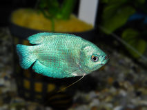 De vissen van het aquarium Anabantoidaefamilie Royalty-vrije Stock Fotografie