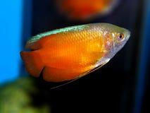 De vissen van het aquarium Anabantoidaefamilie Stock Afbeeldingen