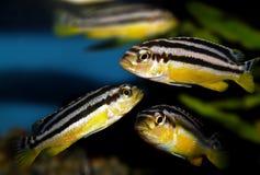 De vissen van het aquarium Cichlidaefamilie stock afbeeldingen