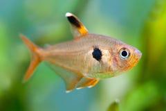 De vissen van het aquarium Rosy Tetra Zoetwatertank Een groen mooi geplant zoetwateraquarium met Tetravissen (macro, Stock Afbeelding