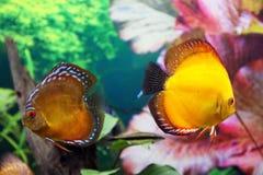 De vissen van het discusaquarium Royalty-vrije Stock Foto's