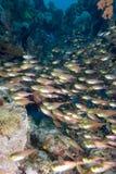 De vissen van het glas/Gouden veger Royalty-vrije Stock Afbeelding