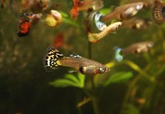 De vissen van het Guppyaquarium Stock Afbeelding