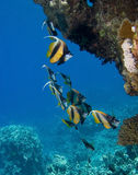 De vissen van het koraal Stock Afbeelding