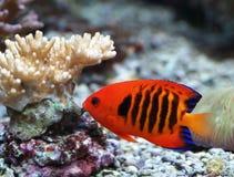 De vissen van het koraal Stock Foto's