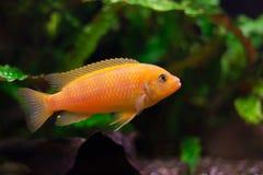 De vissen van het lombardoiaquarium van Kenyi cichlid Maylandia stock foto's
